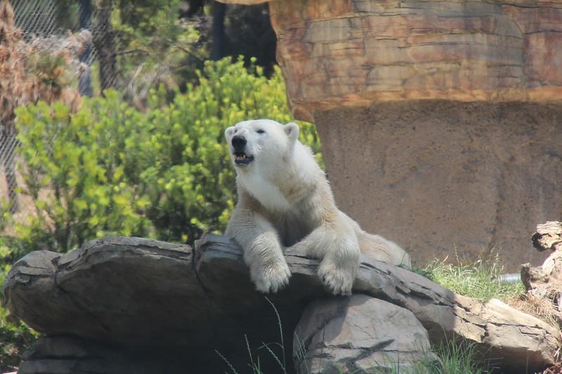 20170807-111 - San Diego Zoo - Polar Bear.JPG