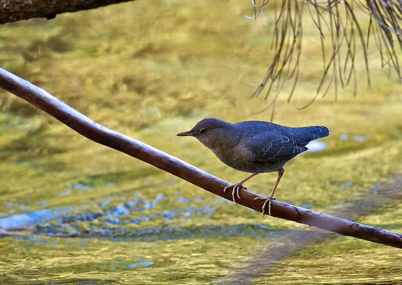 American Dipper, Kings Canyon National Park, California