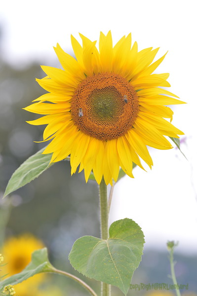 Sunflower Lonay_20092020 (65).JPG