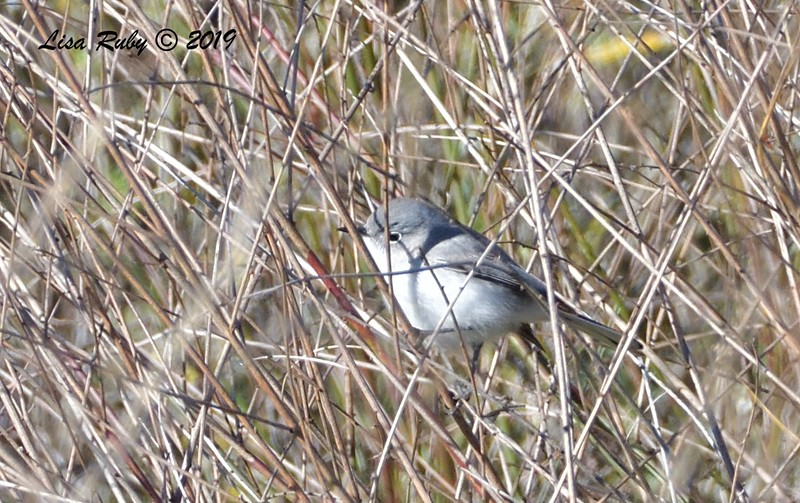 Blue-gray Gnatcatcher  - 12/28/2019 - Lake Wohlford area