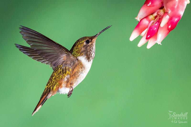 Volcano hummingbird, female