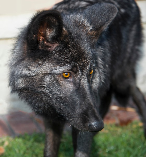 Creatures of the Night_Wolves-2.jpg