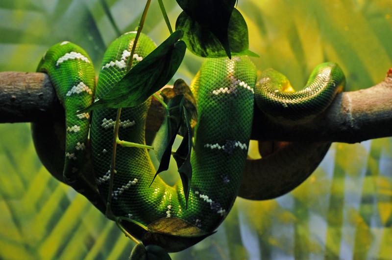 Greenwhitesnake.jpg