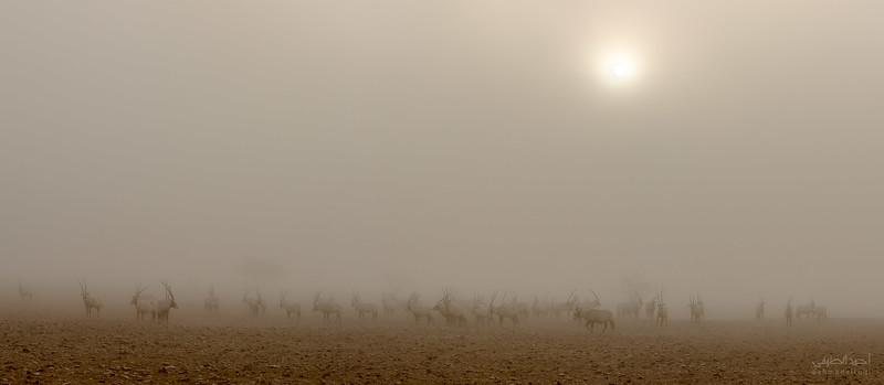 Arabian Oryx (49).jpg