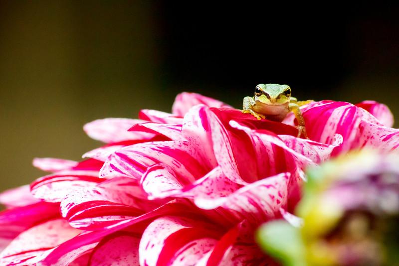 20110903_Frogs0033.jpg