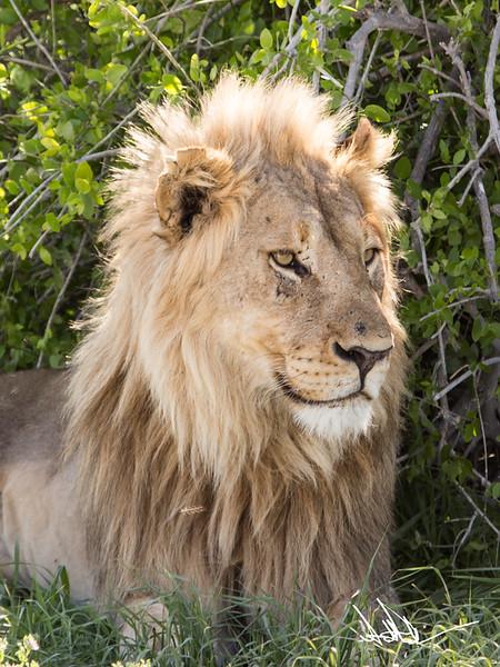 Lions Etosha-S-10.jpg