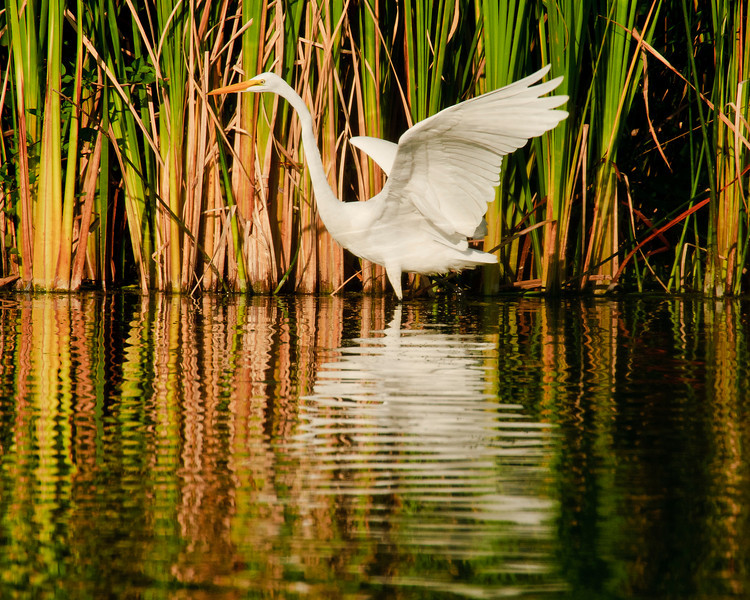 Rippled Egret