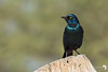 Perched Glossy Starling