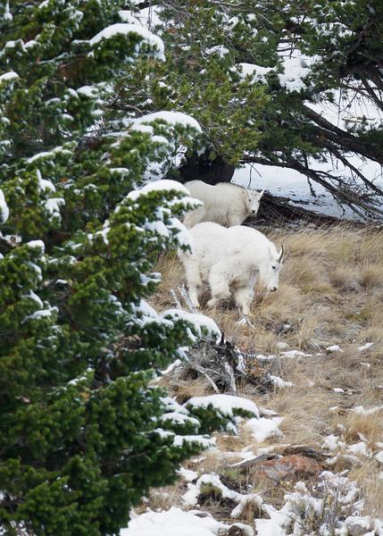 Mountain Goats, Yellowstone National Park