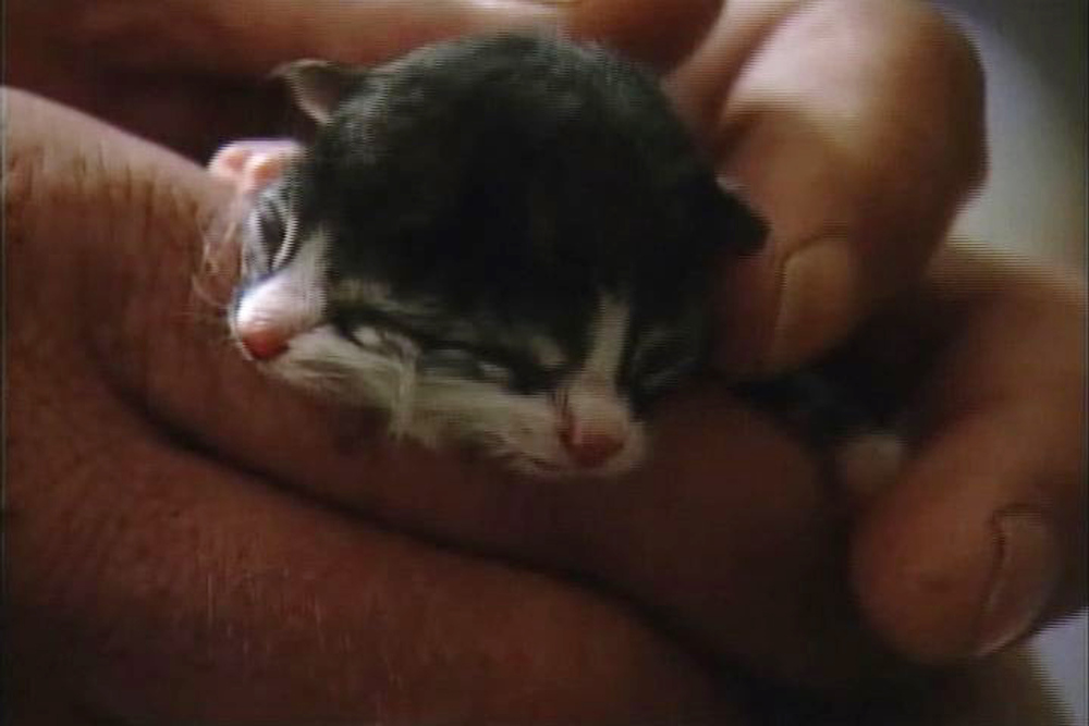 Description of . In this undated image taken from video provided by ABC affiliate WCHS TV, a newborn kitten, known as Two Face, is held at the Kanawha Charleston Humane Association in Charleston, W.V. The kitten is being given a 50 percent chance of survival by an area veterinarian. Dr. Erica Drake says the kitten was born with a rare condition called diprosopus, which means the kitten literally has two faces. Two Face has four eyes, two noses and two mouths. (AP Photo/WCHS TV)
