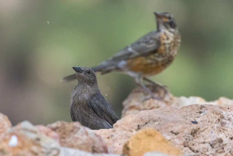 Brewer's Blackbird (Juvenile American Robin in the background)
