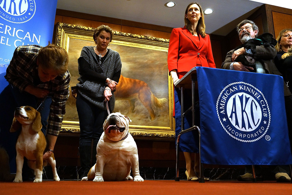 . Dogs of various breeds stand during a news conference by the American Kennel Club to discuss the release of the club\'s annual list of the most popular dog breeds in the country. (Photo by Spencer Platt/Getty Images)