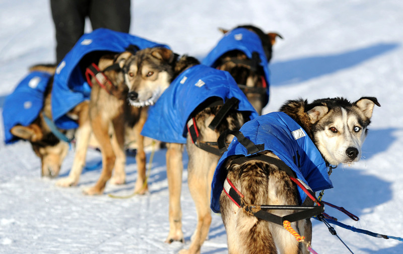 . Mitch Seavey�s dogs look back at the musher after they arrived at the White Mountain checkpoint during the Iditarod Trail Sled Dog Race on Monday, March 10, 2014, in White Mountain, Alaska. (AP Photo/The Anchorage Daily News, Bob Hallinen)
