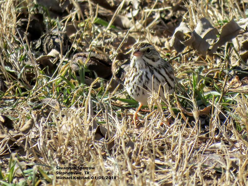 IMG_9296 3T Savannah Sparrow Anderson's Stephenville 105 1415.jpg