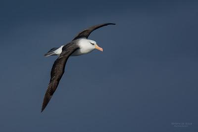 Campbell Albatross (Thalassarche impavida) VU