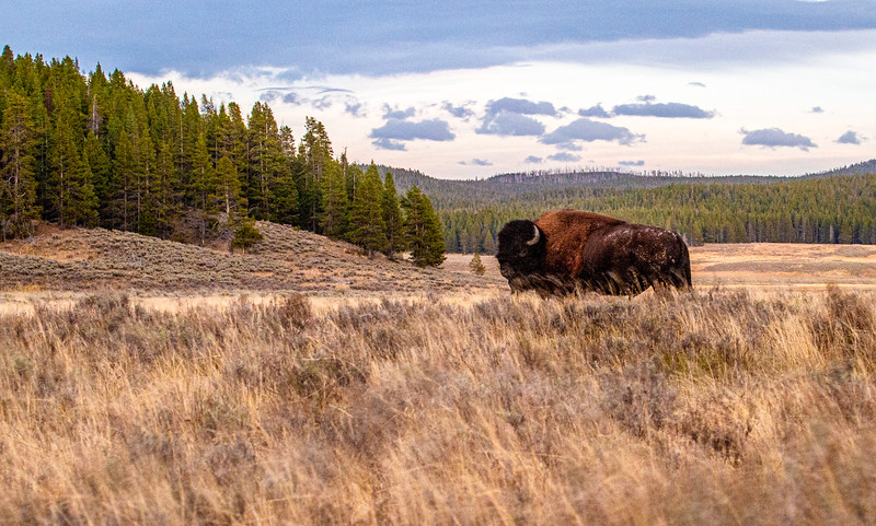 Bison slow shutter speed Hayden Valley Yellowstone National Park WY  IMG_1515.jpg