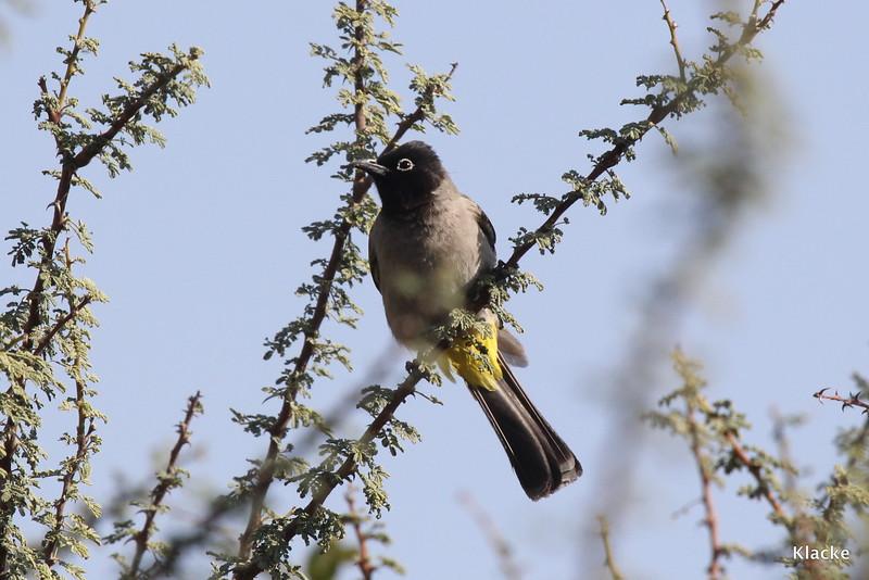 Yellow-Vented Bulbyl, Levantbulbyl