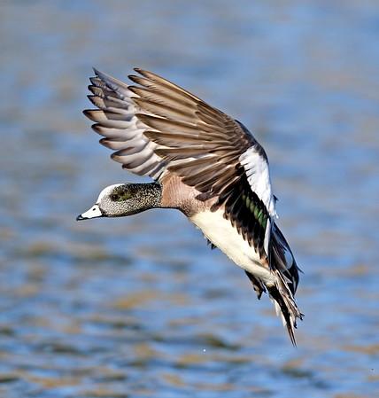 Ducks/Geese