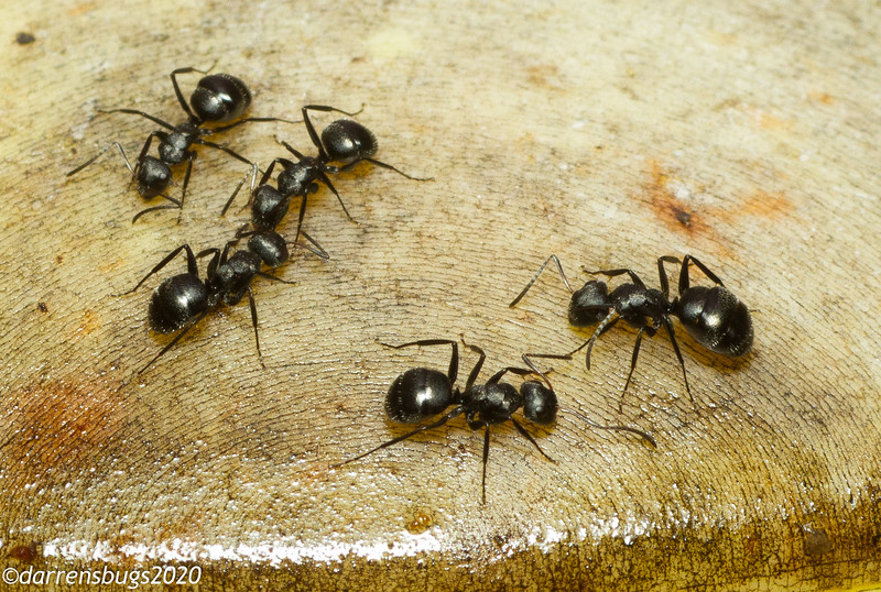 These medium-sized black ants were a common sight at our hummingbird feeders in Panama.