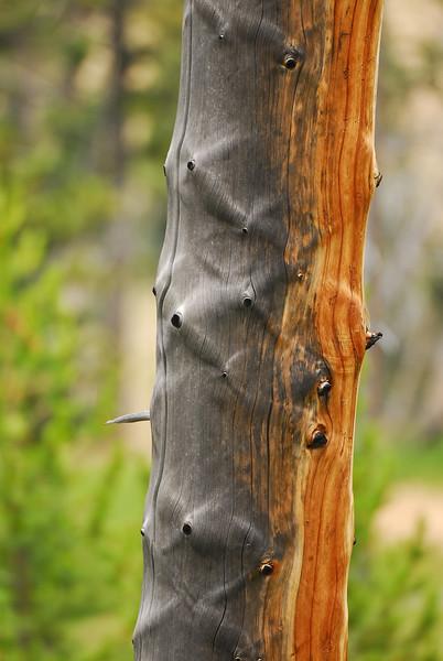 Dead tree, Yellowstone National Park