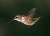 Rufous Hummingbird crop PSE IMG_4171