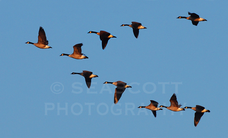 Canada geese fly over the protected lands of the SE Michigan Land Conservancy.