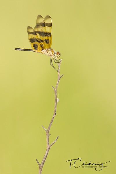 Holloween Pennant Dragonfly Seven-1531687888020.jpg