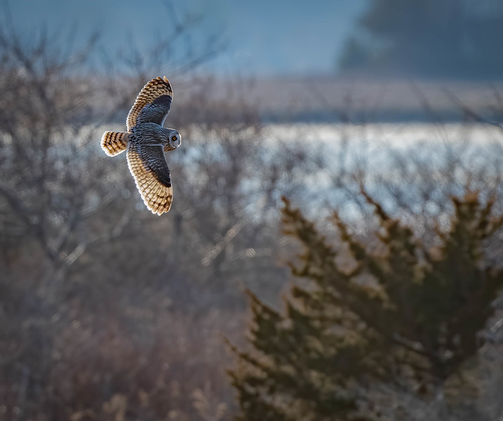 _5006775-Edit Short-eared Owl pond fly by into the woods.jpg