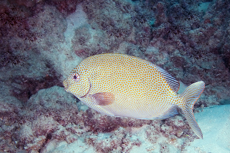 Dusky Rabbitfish 2.jpg