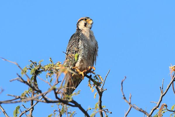 Birds of Sarara 2014