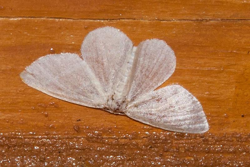 Geometer - Snow - (Eugonobapta nivosaria) - Dunning Lake - Itasca County, MN