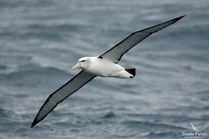 Shy Albatross (White-capped)