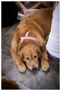 Golden Retriever Club Singapore 2014