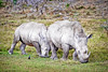 Photograph of two rhinoceros grazing on grass. Photography fine art photo prints print photos photograph photographs image images artwork.