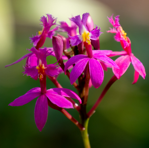 spathoglottis orchid