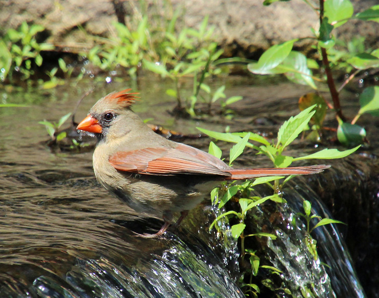 cardinal bathing 85 11 x 14.jpg