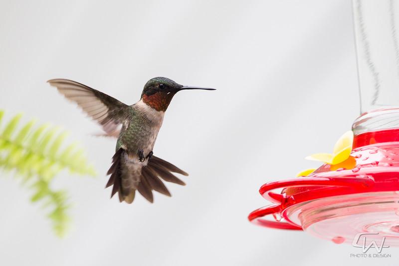 Hummingbird-1956-2.jpg