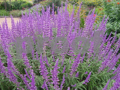 salvias-are-among-summers-outstanding-stars