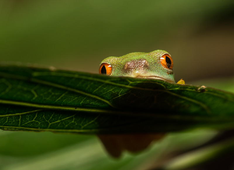 Tree frog from Belize.