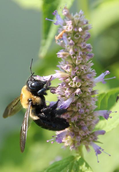 Bumble bee 48
