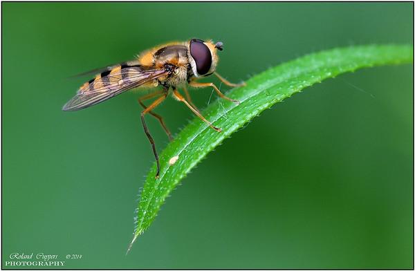 Vliegen, spinnen en andere kleine insecten....