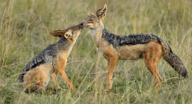 Black-backed-jackals-couple-in-love.jpg