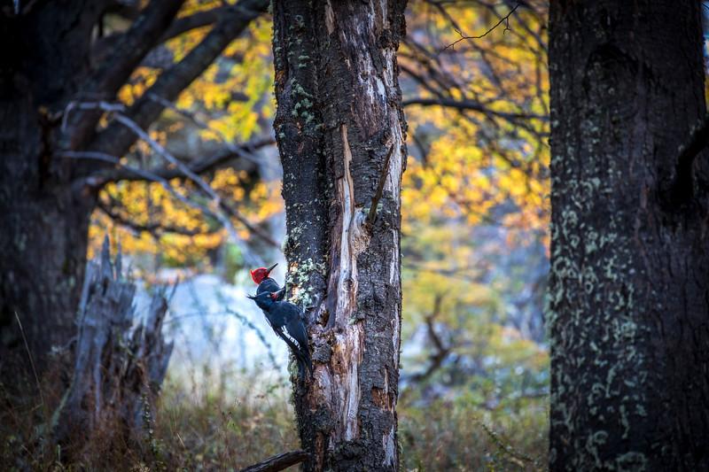 Patagonain Woodpecker, El Chalten-1.jpg