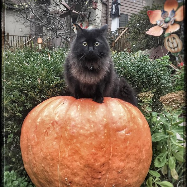 Our real black cat atop our real giant pumpkin awaits you all, our trick-or-treaters. Come if you dare....