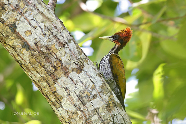 Red headed-flameback