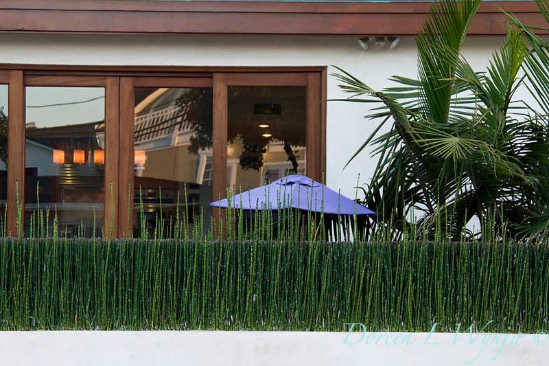 Equisetum hyemale_058.jpg
