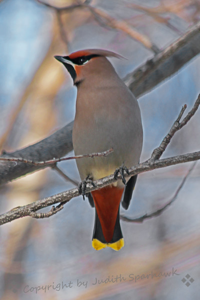 Bohemian Waxwing ~ This beautiful waxwing was photographed in Edmonton this week in March.  This was the first time I have seen this species, so it was a life bird for my list.  It is larger and more brightly colored than the Cedar Waxwing that I can see at home.