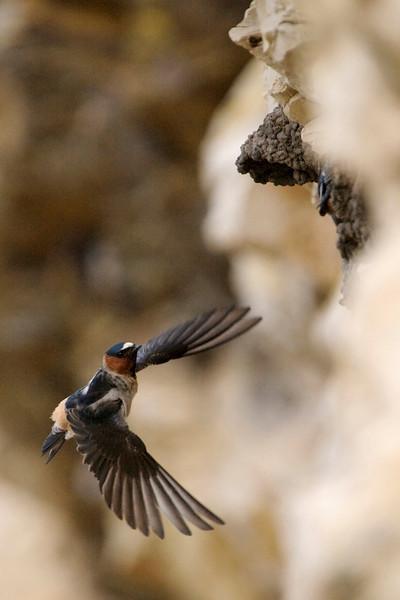 Cliff Swallows