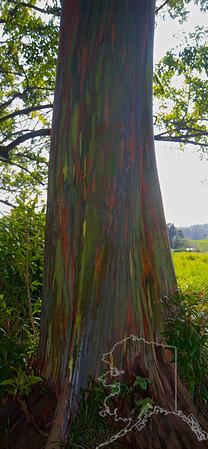 Rainbow Bark Eucalyptus Trees