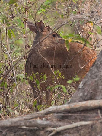Brown-brocket Deer